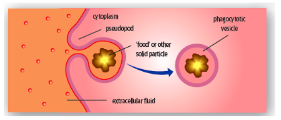 Example Of Phagocytosis Fat droplets being taken up by